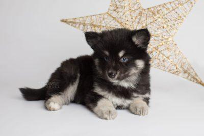 puppy171 week7 BowTiePomsky.com Bowtie Pomsky Puppy For Sale Husky Pomeranian Mini Dog Spokane WA Breeder Blue Eyes Pomskies Celebrity Puppy web1