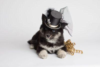 puppy171 week7 BowTiePomsky.com Bowtie Pomsky Puppy For Sale Husky Pomeranian Mini Dog Spokane WA Breeder Blue Eyes Pomskies Celebrity Puppy web3
