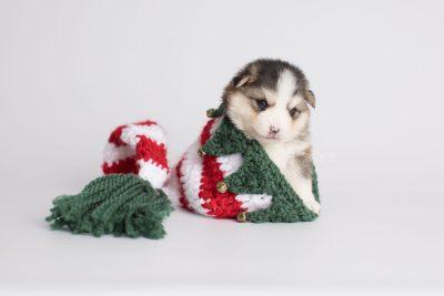 puppy172 week3 BowTiePomsky.com Bowtie Pomsky Puppy For Sale Husky Pomeranian Mini Dog Spokane WA Breeder Blue Eyes Pomskies Celebrity Puppy web3