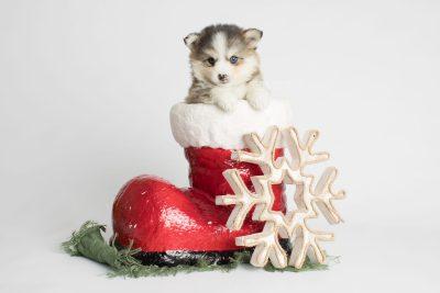 puppy172 week5 BowTiePomsky.com Bowtie Pomsky Puppy For Sale Husky Pomeranian Mini Dog Spokane WA Breeder Blue Eyes Pomskies Celebrity Puppy web2