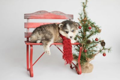 puppy172 week5 BowTiePomsky.com Bowtie Pomsky Puppy For Sale Husky Pomeranian Mini Dog Spokane WA Breeder Blue Eyes Pomskies Celebrity Puppy web3