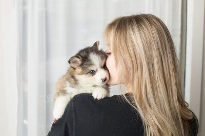 puppy172 week5 BowTiePomsky.com Bowtie Pomsky Puppy For Sale Husky Pomeranian Mini Dog Spokane WA Breeder Blue Eyes Pomskies Celebrity Puppy web7
