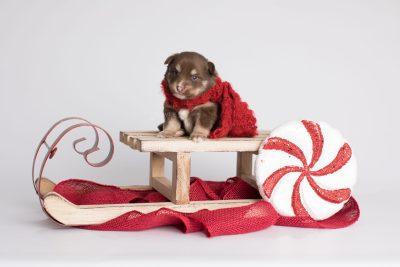 puppy173 week3 BowTiePomsky.com Bowtie Pomsky Puppy For Sale Husky Pomeranian Mini Dog Spokane WA Breeder Blue Eyes Pomskies Celebrity Puppy web6