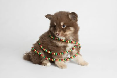 puppy173 week5 BowTiePomsky.com Bowtie Pomsky Puppy For Sale Husky Pomeranian Mini Dog Spokane WA Breeder Blue Eyes Pomskies Celebrity Puppy web5