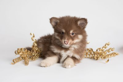 puppy173 week7 BowTiePomsky.com Bowtie Pomsky Puppy For Sale Husky Pomeranian Mini Dog Spokane WA Breeder Blue Eyes Pomskies Celebrity Puppy web2
