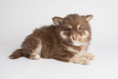puppy173 week7 BowTiePomsky.com Bowtie Pomsky Puppy For Sale Husky Pomeranian Mini Dog Spokane WA Breeder Blue Eyes Pomskies Celebrity Puppy web6