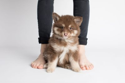 puppy173 week7 BowTiePomsky.com Bowtie Pomsky Puppy For Sale Husky Pomeranian Mini Dog Spokane WA Breeder Blue Eyes Pomskies Celebrity Puppy web7