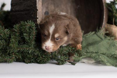 puppy174 week3 BowTiePomsky.com Bowtie Pomsky Puppy For Sale Husky Pomeranian Mini Dog Spokane WA Breeder Blue Eyes Pomskies Celebrity Puppy web1
