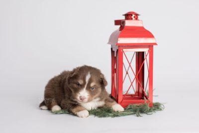 puppy174 week3 BowTiePomsky.com Bowtie Pomsky Puppy For Sale Husky Pomeranian Mini Dog Spokane WA Breeder Blue Eyes Pomskies Celebrity Puppy web4