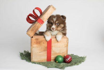 puppy174 week5 BowTiePomsky.com Bowtie Pomsky Puppy For Sale Husky Pomeranian Mini Dog Spokane WA Breeder Blue Eyes Pomskies Celebrity Puppy web1