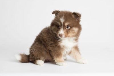 puppy174 week5 BowTiePomsky.com Bowtie Pomsky Puppy For Sale Husky Pomeranian Mini Dog Spokane WA Breeder Blue Eyes Pomskies Celebrity Puppy web6
