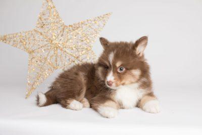 puppy174 week7 BowTiePomsky.com Bowtie Pomsky Puppy For Sale Husky Pomeranian Mini Dog Spokane WA Breeder Blue Eyes Pomskies Celebrity Puppy web1