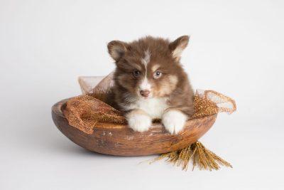 puppy174 week7 BowTiePomsky.com Bowtie Pomsky Puppy For Sale Husky Pomeranian Mini Dog Spokane WA Breeder Blue Eyes Pomskies Celebrity Puppy web5