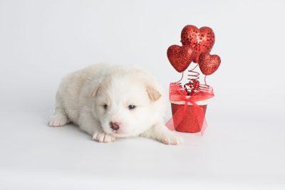 puppy175 week3 BowTiePomsky.com Bowtie Pomsky Puppy For Sale Husky Pomeranian Mini Dog Spokane WA Breeder Blue Eyes Pomskies Celebrity Puppy web3