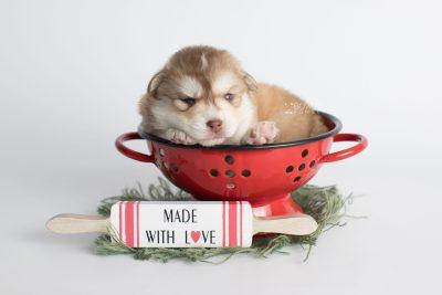 puppy176 week3 BowTiePomsky.com Bowtie Pomsky Puppy For Sale Husky Pomeranian Mini Dog Spokane WA Breeder Blue Eyes Pomskies Celebrity Puppy web1