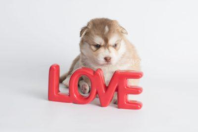 puppy176 week3 BowTiePomsky.com Bowtie Pomsky Puppy For Sale Husky Pomeranian Mini Dog Spokane WA Breeder Blue Eyes Pomskies Celebrity Puppy web3