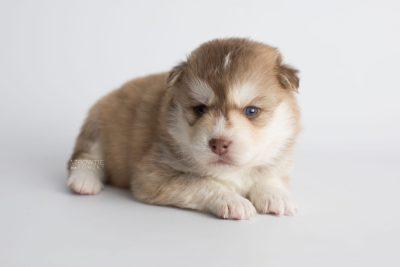 puppy176 week3 BowTiePomsky.com Bowtie Pomsky Puppy For Sale Husky Pomeranian Mini Dog Spokane WA Breeder Blue Eyes Pomskies Celebrity Puppy web7