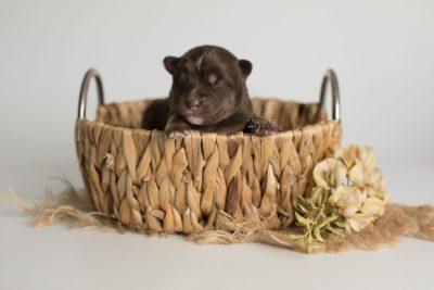puppy177 week1 BowTiePomsky.com Bowtie Pomsky Puppy For Sale Husky Pomeranian Mini Dog Spokane WA Breeder Blue Eyes Pomskies Celebrity Puppy web1
