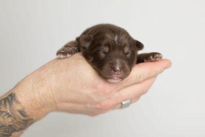 puppy177 week1 BowTiePomsky.com Bowtie Pomsky Puppy For Sale Husky Pomeranian Mini Dog Spokane WA Breeder Blue Eyes Pomskies Celebrity Puppy web7