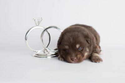 puppy177 week3 BowTiePomsky.com Bowtie Pomsky Puppy For Sale Husky Pomeranian Mini Dog Spokane WA Breeder Blue Eyes Pomskies Celebrity Puppy web3