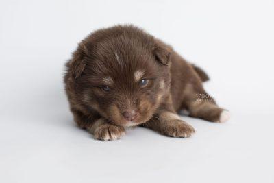 puppy177 week3 BowTiePomsky.com Bowtie Pomsky Puppy For Sale Husky Pomeranian Mini Dog Spokane WA Breeder Blue Eyes Pomskies Celebrity Puppy web6