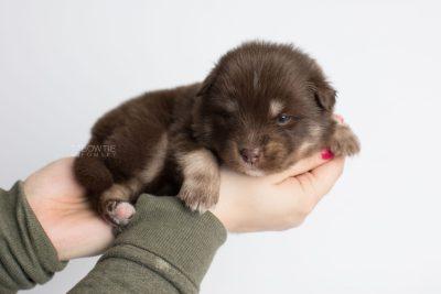 puppy177 week3 BowTiePomsky.com Bowtie Pomsky Puppy For Sale Husky Pomeranian Mini Dog Spokane WA Breeder Blue Eyes Pomskies Celebrity Puppy web8