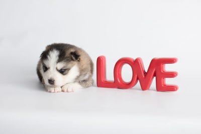 puppy179 week3 BowTiePomsky.com Bowtie Pomsky Puppy For Sale Husky Pomeranian Mini Dog Spokane WA Breeder Blue Eyes Pomskies Celebrity Puppy web3