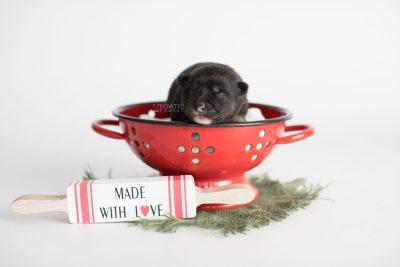puppy185 week1 BowTiePomsky.com Bowtie Pomsky Puppy For Sale Husky Pomeranian Mini Dog Spokane WA Breeder Blue Eyes Pomskies Celebrity Puppy web2