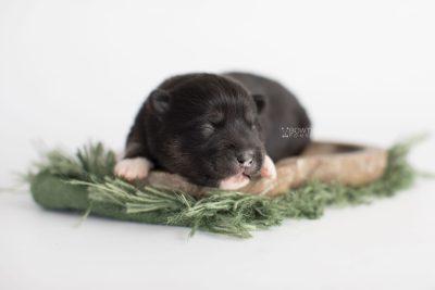 puppy185 week1 BowTiePomsky.com Bowtie Pomsky Puppy For Sale Husky Pomeranian Mini Dog Spokane WA Breeder Blue Eyes Pomskies Celebrity Puppy web5