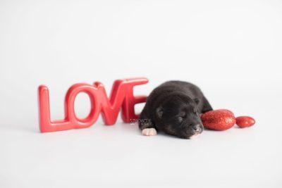 puppy185 week1 BowTiePomsky.com Bowtie Pomsky Puppy For Sale Husky Pomeranian Mini Dog Spokane WA Breeder Blue Eyes Pomskies Celebrity Puppy web6