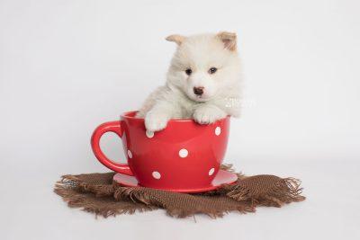 puppy175 week5 BowTiePomsky.com Bowtie Pomsky Puppy For Sale Husky Pomeranian Mini Dog Spokane WA Breeder Blue Eyes Pomskies Celebrity Puppy web1