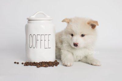 puppy175 week5 BowTiePomsky.com Bowtie Pomsky Puppy For Sale Husky Pomeranian Mini Dog Spokane WA Breeder Blue Eyes Pomskies Celebrity Puppy web2