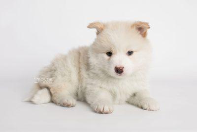 puppy175 week5 BowTiePomsky.com Bowtie Pomsky Puppy For Sale Husky Pomeranian Mini Dog Spokane WA Breeder Blue Eyes Pomskies Celebrity Puppy web3