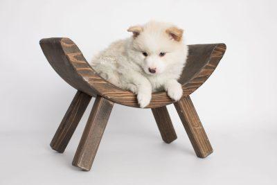 puppy175 week5 BowTiePomsky.com Bowtie Pomsky Puppy For Sale Husky Pomeranian Mini Dog Spokane WA Breeder Blue Eyes Pomskies Celebrity Puppy web6