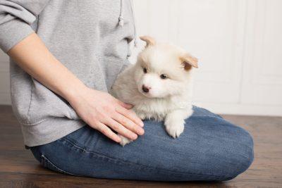 puppy175 week5 BowTiePomsky.com Bowtie Pomsky Puppy For Sale Husky Pomeranian Mini Dog Spokane WA Breeder Blue Eyes Pomskies Celebrity Puppy web7