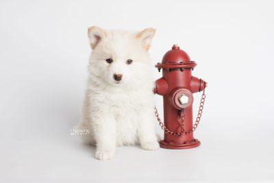 puppy175 week7 BowTiePomsky.com Bowtie Pomsky Puppy For Sale Husky Pomeranian Mini Dog Spokane WA Breeder Blue Eyes Pomskies Celebrity Puppy web4