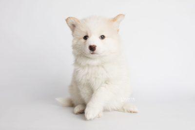puppy175 week7 BowTiePomsky.com Bowtie Pomsky Puppy For Sale Husky Pomeranian Mini Dog Spokane WA Breeder Blue Eyes Pomskies Celebrity Puppy web5
