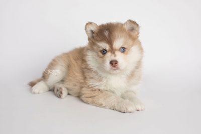 puppy176 week5 BowTiePomsky.com Bowtie Pomsky Puppy For Sale Husky Pomeranian Mini Dog Spokane WA Breeder Blue Eyes Pomskies Celebrity Puppy web3