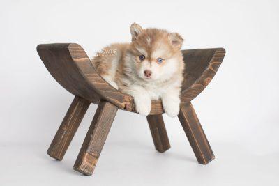 puppy176 week5 BowTiePomsky.com Bowtie Pomsky Puppy For Sale Husky Pomeranian Mini Dog Spokane WA Breeder Blue Eyes Pomskies Celebrity Puppy web6