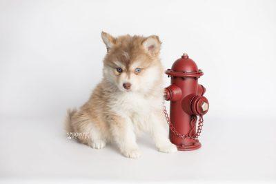 puppy176 week7 BowTiePomsky.com Bowtie Pomsky Puppy For Sale Husky Pomeranian Mini Dog Spokane WA Breeder Blue Eyes Pomskies Celebrity Puppy web3