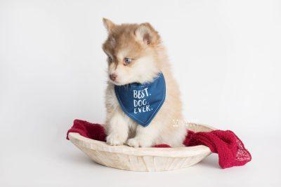 puppy176 week7 BowTiePomsky.com Bowtie Pomsky Puppy For Sale Husky Pomeranian Mini Dog Spokane WA Breeder Blue Eyes Pomskies Celebrity Puppy web5