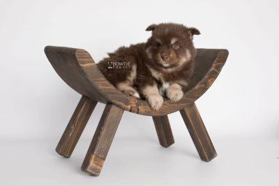 puppy177 week5 BowTiePomsky.com Bowtie Pomsky Puppy For Sale Husky Pomeranian Mini Dog Spokane WA Breeder Blue Eyes Pomskies Celebrity Puppy web6