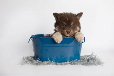 puppy177 week7 BowTiePomsky.com Bowtie Pomsky Puppy For Sale Husky Pomeranian Mini Dog Spokane WA Breeder Blue Eyes Pomskies Celebrity Puppy web1