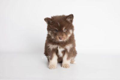 puppy177 week7 BowTiePomsky.com Bowtie Pomsky Puppy For Sale Husky Pomeranian Mini Dog Spokane WA Breeder Blue Eyes Pomskies Celebrity Puppy web4