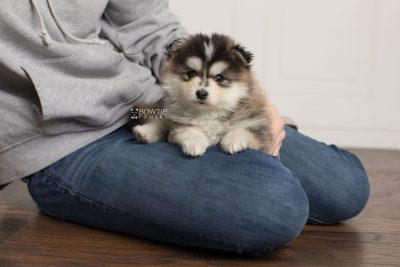 puppy178 week5 BowTiePomsky.com Bowtie Pomsky Puppy For Sale Husky Pomeranian Mini Dog Spokane WA Breeder Blue Eyes Pomskies Celebrity Puppy web7