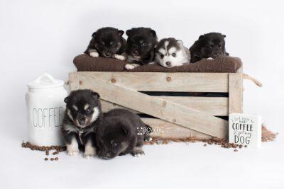 puppy180-185 week3 BowTiePomsky.com Bowtie Pomsky Puppy For Sale Husky Pomeranian Mini Dog Spokane WA Breeder Blue Eyes Pomskies Celebrity Puppy web