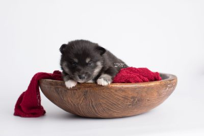 puppy182 week3 BowTiePomsky.com Bowtie Pomsky Puppy For Sale Husky Pomeranian Mini Dog Spokane WA Breeder Blue Eyes Pomskies Celebrity Puppy web2