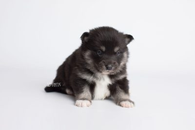 puppy182 week3 BowTiePomsky.com Bowtie Pomsky Puppy For Sale Husky Pomeranian Mini Dog Spokane WA Breeder Blue Eyes Pomskies Celebrity Puppy web6