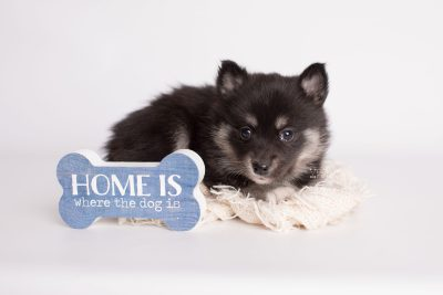 puppy182 week5 BowTiePomsky.com Bowtie Pomsky Puppy For Sale Husky Pomeranian Mini Dog Spokane WA Breeder Blue Eyes Pomskies Celebrity Puppy web4
