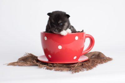 puppy183 week3 BowTiePomsky.com Bowtie Pomsky Puppy For Sale Husky Pomeranian Mini Dog Spokane WA Breeder Blue Eyes Pomskies Celebrity Puppy web1